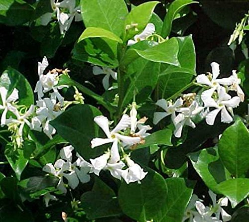Confederate Jasmine Fragrant Vine - Live Plant - 2-3 Feet Tall - Full Gallon Pot by New Life Nursery & Garden