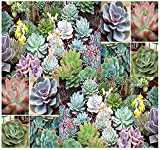 Desert Rose Mix - Echeveria Species Mix - Excellent Indoor House Plants - SUCCULENTS SEEDS - Gorgeous Array Of Colors - By MySeeds.Co (1000 Seeds - 1000 Seeds)