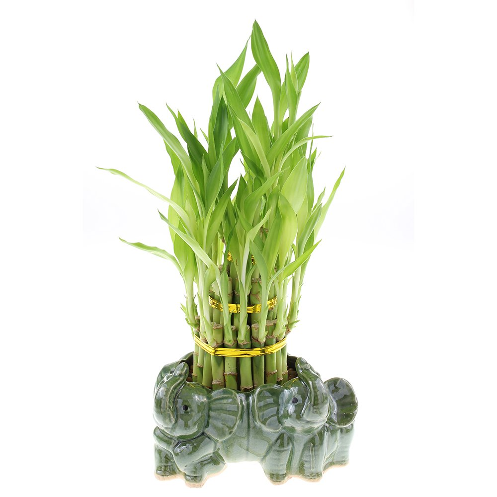 Three Tiered Lucky Bamboo Tower in Decorative Elephant Pot (Twin Elephants)