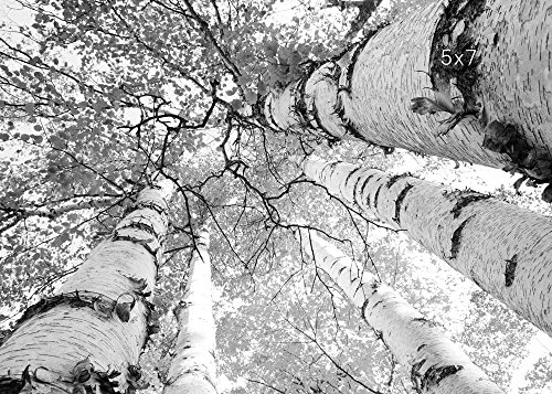 Birch Trees print black and white art, photo paper or canvas picture, 5x7 to 30x45 inches large wall décor, guaranteed Christmas delivery if ordered by Dec. 16 (canvas) or Dec. 19 (paper prints) (45 Inch Home Decor Print)