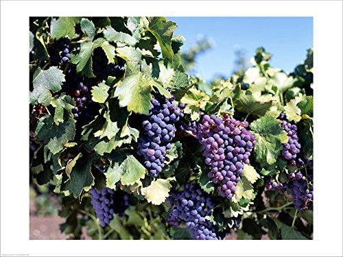 Close-up of Cabernet Grapes, Nuriootpa, Barossa Valley, Adelaide, South Australia, Australia Laminated Art Print, 40 x 30 inches