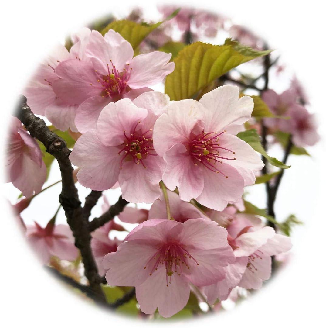 の 河津 桜 苗 原木