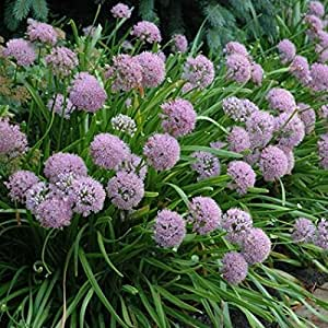 1 Starter Plant of Summer Beauty Allium