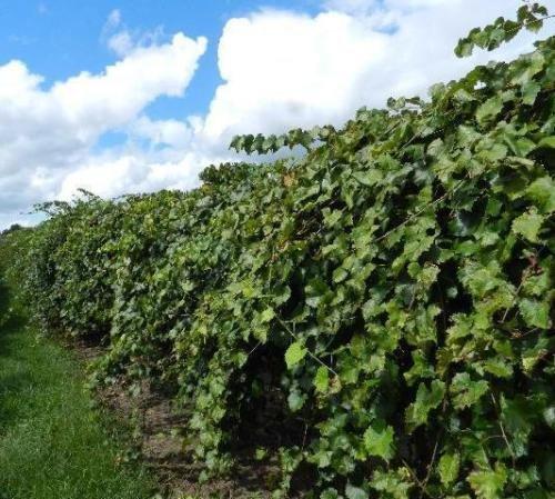 Vitis - 'Dixie' - Muscadine Grape