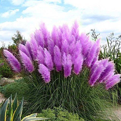 500 Pcs New Rare Purple Pampas Grass Seeds Ornamental Plant Flowers Grass Seeds