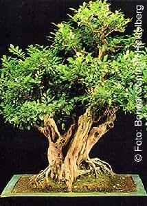 Tropica bonsai jazmín naranjas (Murraya paniculata syn. exotica) - 12 semillas