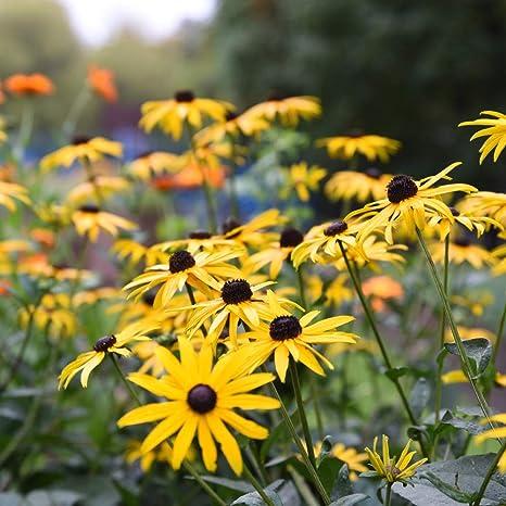 Rudbeckia Fulgida Goldsturm Coneflower Perennial Plant Supplied in a 9cm Pot