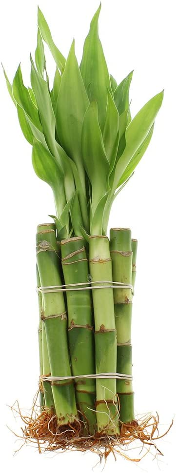 """10 Lucky Bamboo Live Plants Stalk of 30/"""" Spiral Indoor Houseplant"""
