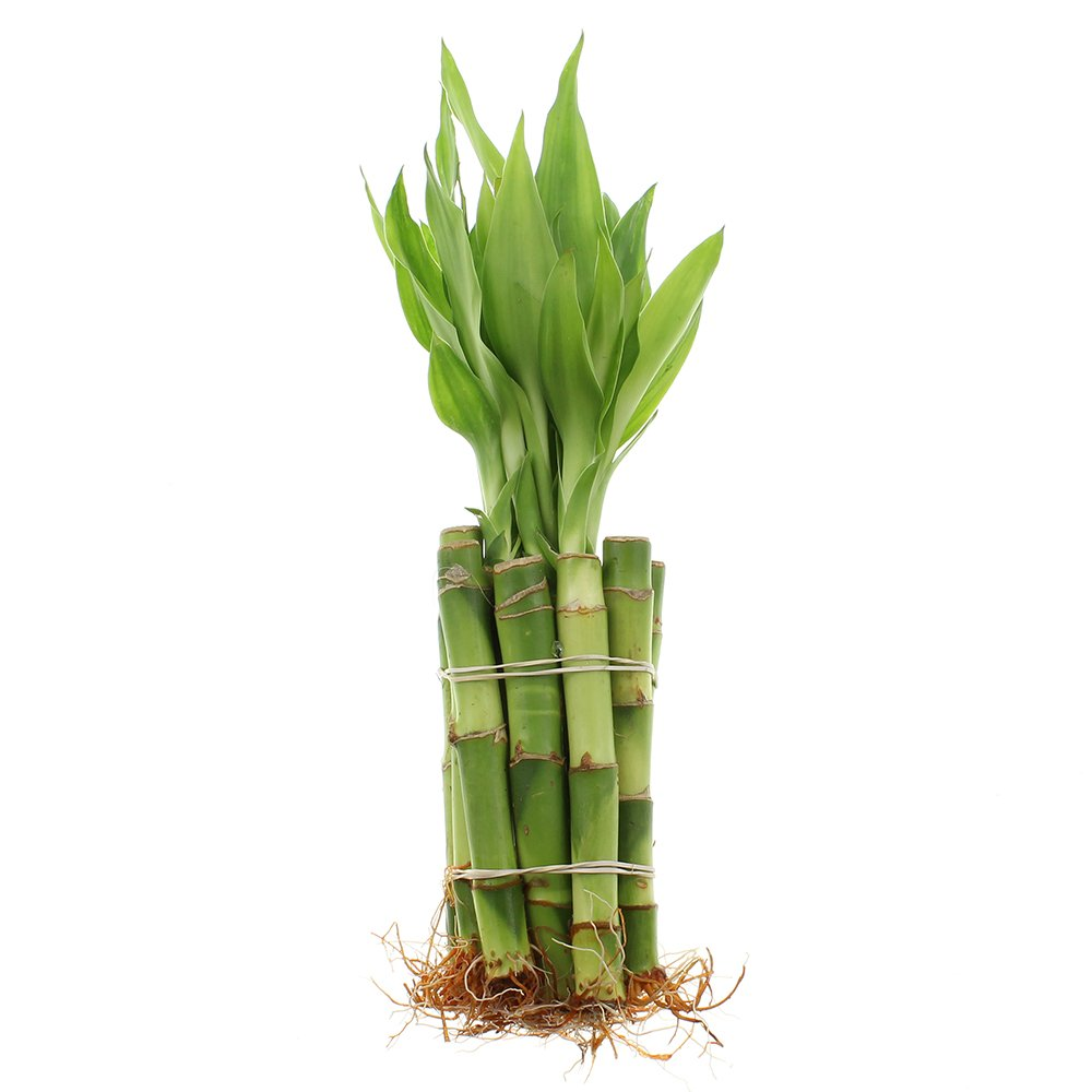 Live Lucky Bamboo 4-Inch Bundle of 10 Stalks - Live Indoor Plants for Home Decor, Arts & Crafts, Zen Gardens and Feng Shui by NW Wholesaler
