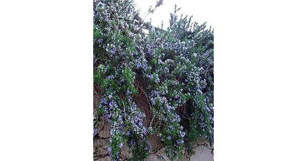 Amazon.com: Planta de rosario cascada – para arrancar y ...
