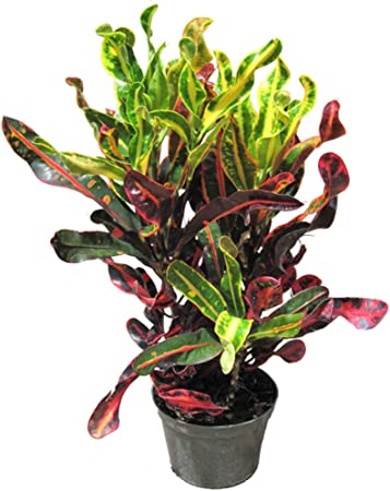 Garden Croton Rainbow Leaves Is Often Grown In Tropical Gardens Garden Croton Is Often Grown In Tropical Gardens And As A