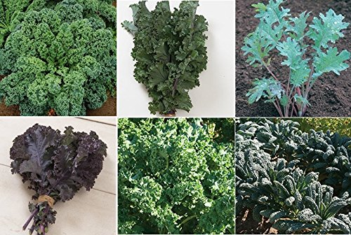 David's Garden Seeds Collection Set Kale RSL7711 (Multi) 6 Varieties 2000 Seeds (Open Pollinated, Heirloom, (Garden Seed Collection)