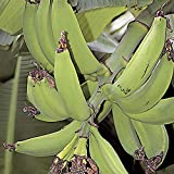 Musa Dwarf Puerto Rican Plantain fruit tree Live Plant Tropical garden