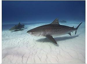 "GREATBIGCANVAS Tiger Shark on White Sand Beach Poster Print, 36""x27"""