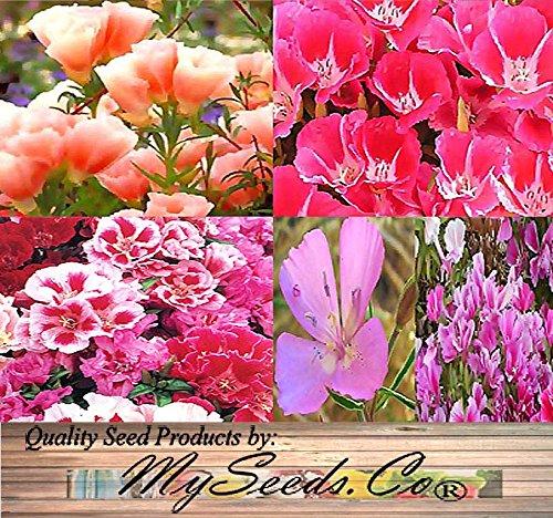 BIG PACK - (40,000+) CLARKIA GODETIA Crazy Rainbow Mix - Clarkia amoena Flower Seeds By MySeeds.Co (BIG PACK - Godetia Crazy Rainbow Mix)