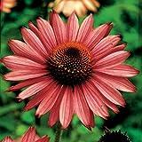 Magnus Coneflower Flower Seeds 50 Stratisfied Seeds