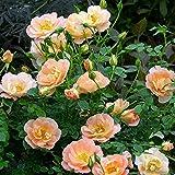 OSO EASY® Peachy Cream Rose - DISEASE RESISTANT - Proven Winners