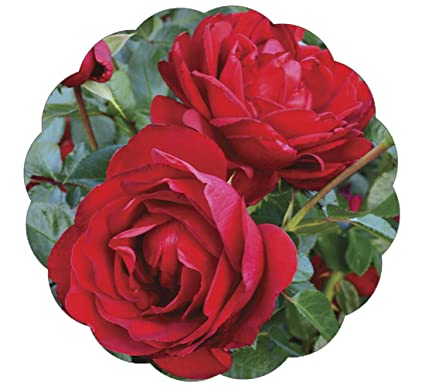 Amazon Stargazer Perennials Desmond Tutu Rose Plant Potted