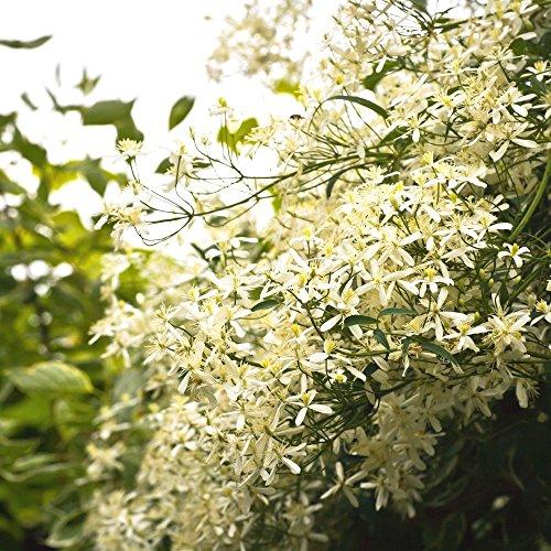 Sweet Autumn Clematis seeds - Clematis mandshurica