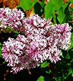 "Miss Kim Manchurian Dwarf Lilac - Syringa - Outdoors/Bonsai - 4"" Pot"
