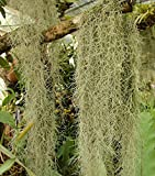 Organic Spanish Moss - Live Air Plant -Overstuffed Gallon Bag-We pick when U Buy