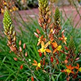 3 Bareroot Plants of Perennial Bulbine frutescens - Orange African Bulbine. Spikes of star shaped orange flowers with succulent foliage!