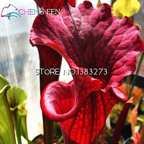 Burgundy : 10Pcs Purple Pitcher Plant Sarracenia Purpurea Flower Seeds Carnivorous Plant Flowers Planting Office Mini-Plants ()
