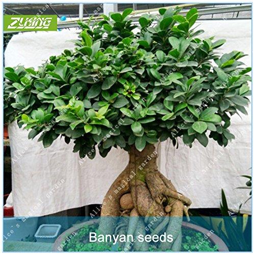 AGROBITS ZLKING 100pcs Chinese Mini Banyan Tree Bonsai Fresh Nature High Germination Rate Ficus Microcarpa Plant -
