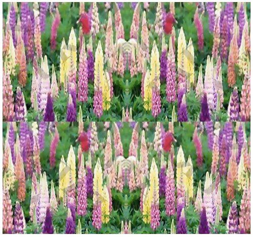 Lupine Russell Mix (80 LUPINE RUSSELL MIX Flower Seeds YEARLY mixture of pink, red, blue and yellow)