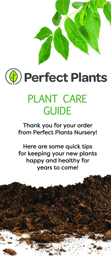 Tulip Poplar - Size:  5-6 ft, live plant, includes special blend fertilizer & planting guide by PERFECT PLANTS (Image #3)