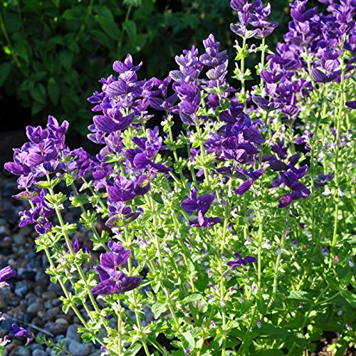 Clary Sage Seeds - Clary Sage Seeds - Blue Monday - Packet, Purple Flowers