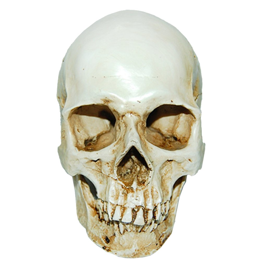 Amazon Com Magideal Lifesize 1 1 Human Skull Replica Resin Model Anatomical Medical Skeleton Industrial Scientific