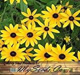 5000 x BLACK EYED SUSAN Flower Seeds ~ Rudbeckia hirta - SELF RESEEDS ~ PERFECT GOLDEN CUT FLOWERS - Zones 3-9 - By MySeeds.Co