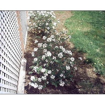 Viburnum carlesii Compactum KOREANSPICE Fragrant Seeds! : Garden & Outdoor