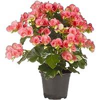 Pianta vera fiorita da interno BEGONIA ROSA TROPICALE A LUNGA FIORITURA ornamentale Ø 14 cm - h 40 cm