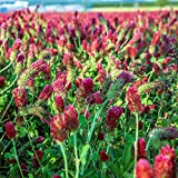 Crimson Clover Seeds - 1 Lb - Garden Cover Crop, Non-GMO, Open Pollinated, Perennial, Heirloom - Pelleted & Inoculated w/Nitrogen Fixing Bacteria