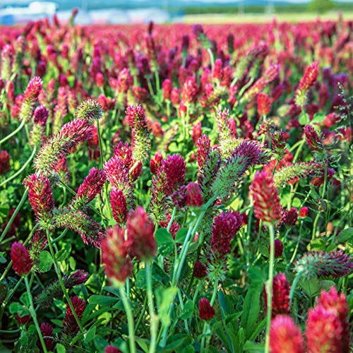 Crimson Clover Seeds - 1 Lb - Garden Cover Crop, Non-GMO, Open Pollinated, Perennial, Heirloom - Pelleted & Inoculated w/Nitrogen Fixing Bacteria by Mountain Valley Seed Company
