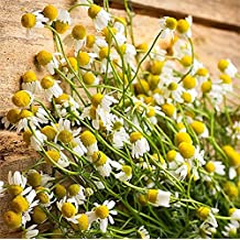 Organic Chamomile Plant Seeds - Popular Herb for Tea