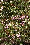 PinkAbelia Aka Abelia G. 'Edward Goucher' Live Plant Shrubs Plant Fit 01 Gallon Pot