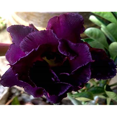 No89 Black Sheep, Desert Rose Adenium Obesum, Mature Plant, New Hybrid, New Arrival, Very-Rare, Limited Quantities!! New-New-New!!! : Garden & Outdoor