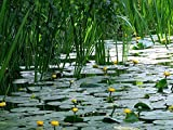 Home Comforts Acrylic Face Mounted Prints Plant Water Lily Pond Water Flowers Aquatic Plant Print 14 x 11. Worry Free Wall Installation - Shadow Mount is Included.