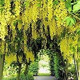GOLDEN CHAIN TREE - LABURNUM ANAGYROIDES BULK 1000 seeds