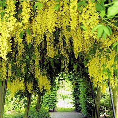 - GOLDEN CHAIN TREE - LABURNUM ANAGYROIDES BULK 1000 seeds