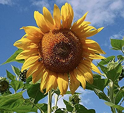 """Mammoth Grey Stripes Sunflower Seeds - Heads up to 20"""" Across"""