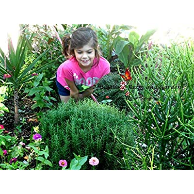 Toyensnow - Rosemary Herb Seeds (17K Seeds or 1 oz) : Garden & Outdoor