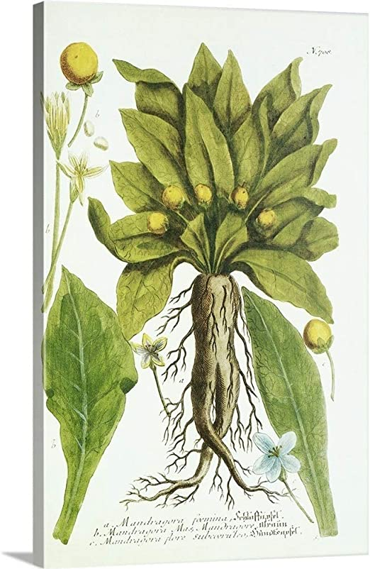 Amazon Com Greatbigcanvas Mandrake Plant Historical Artwork