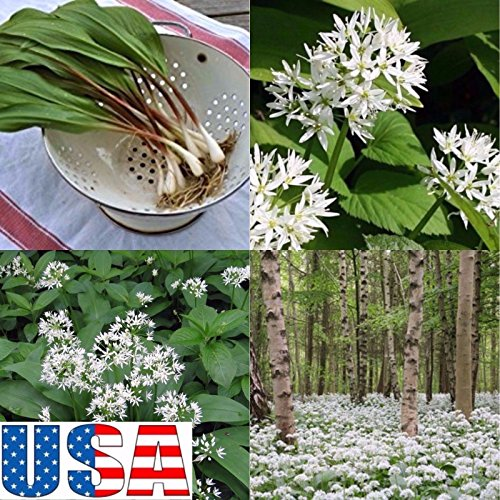 (Grow Your Own) Wild Leek 100, 200, 300, 400 Seeds