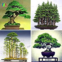 10 juniper bonsai tree potted flowers office bonsai purify the air absorb harmful gases
