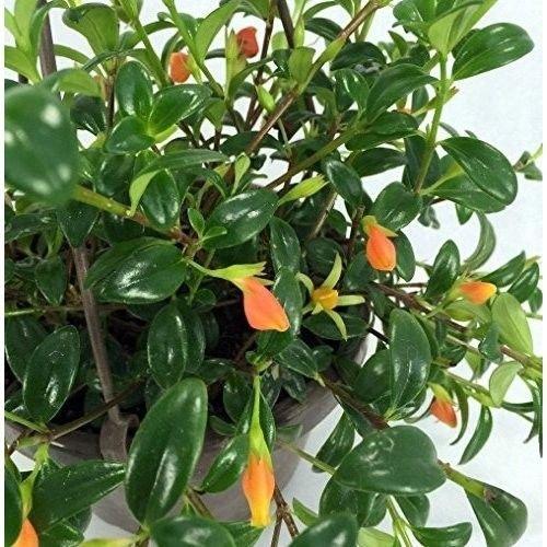 SS0144 Goldfish Live Plant Houseplant Indoor 6'' Hanging Basket Blooms Frequently Violets