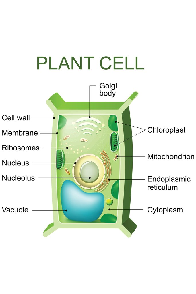 Plant Cell Anatomy Labeled Chart Diagram Poster 12x18 inch Poster Foundry 214692